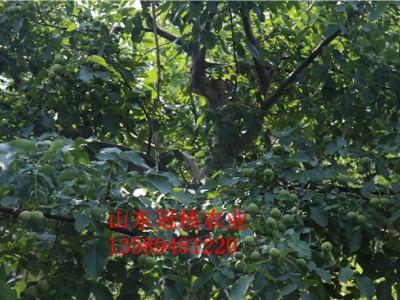 买核桃树苗上哪里品种好价格优 核桃树苗批发