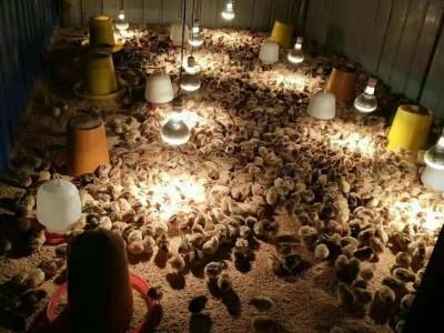 长寿乌皮红羽土鸡苗今天报价 乌皮土鸡苗养殖育雏温度
