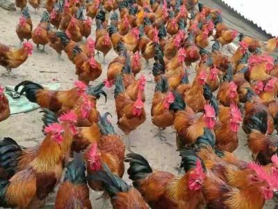 石阡哪里有大红瑶鸡苗供应 求购石阡周边瑶鸡厂家电话