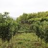 湿地松,马尾松,枫香,木荷杜英,香樟,杉木,造林小苗
