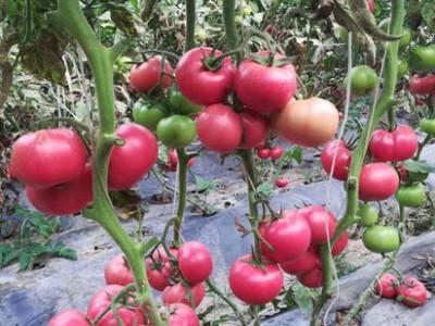 阜阳草莓西红柿苗厂 西红柿育苗基地